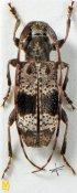 Rhopaloscelis unifasciatus, ♀, Desmiphorini, Sichuan