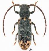 Sophronica musae gabonica, ♀, Desmiphorini, Gabon