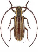 Unelcus lineatus ♀, Desmiphorini, Nicaragua