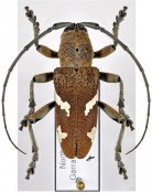 Cyocyphax praonethoides, ♂, Desmiphorini, Queensland