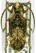 Desmiphora hirticollis, ♀, Desmiphorini, Quintana Roo
