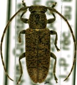 Estoloides sp., ♀, Desmiphorini, Quintana Roo