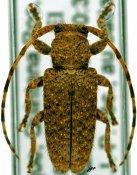 Estola ignobilis, ♀, Desmiphorini, Quintana Roo