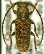 Eupogonius sp., ♂, Desmiphorini, Quintana Roo