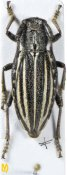 Eodorcadion potanini ♀, Dorcadiini, Inner Mongolia