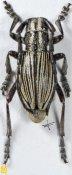Eodorcadion virgatum virgatum, ♀, Dorcadionini, Shanxi