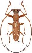 Olenecamptus strigosus strigosus ♂, Dorcaschematini, Sulawesi