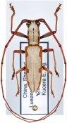 Olenecamptus cretaceus marginatus, ♂, Dorcaschematini, Shaanxi