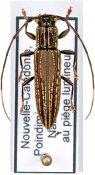 Enicodes fichtelii, ♀, Enicodini, New Caledonia