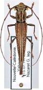 Enicodes fichtelii ♂, Enicodini, New Caledonia