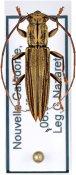 Enicodes schreibersii ♀, Enicodini, New Caledonia