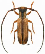 Eunidia sp., ♂, Eunidiini, Gabon
