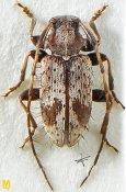 Exocentrus aculeatus ♀, Exocentrini, Sri Lanka