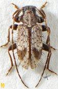 Exocentrus aculeatus, ♂, Exocentrini, Sri Lanka