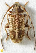 Exocentrus exocentroides ♀, Exocentrini, Sri Lanka
