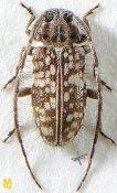 Exocentrus gardneri, ♀, Exocentrini, Sri Lanka