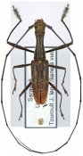 Gnoma longicollis ♂, Gnomini, Borneo