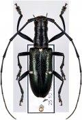 Gnoma zonaria, ♀, Lamiini, Seram