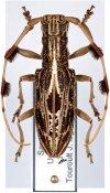 Psectrocera plumigera, ♀, Lamiini, Borneo