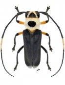Cephalodina crassiceps, ♂, Hemilophini, Nicaragua
