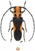 Essostrutha laeta, ♀, Hemilophini, Oaxaca
