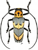 Oedudes bifasciatus, ♂, Hemilophini, Nicaragua