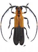 Tyrinthia xanthe, ♂, Hemilophini, Nicaragua