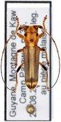 Apagomerina odettae ♀, Hemilophini, French Guiana