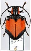 Ites plagiata, ♀, Hemilophini, Bolivia