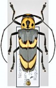 Oedudes bifasciatus, ♀, Hemilophini, Nicaragua