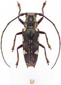 Heteroclytomorpha sexplagiata sexplagiata, ♀, Homonoeini, New Georgia Is.