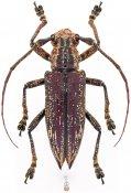Mulciber sp., ♀, Homonoeini, Western New Guinea