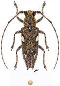 Notomulciber (Micromulciber) sp., ♂, Homonoeini, Borneo