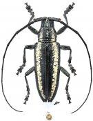 Lamiini • Acridocephala nicoletii • ♀