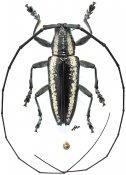 Acridocephala nicoletii, ♂, Lamiini, Gabon