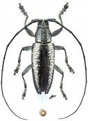 Acridocephala nubilosa, ♂, Lamiini, Gabon