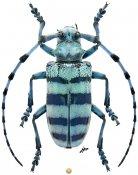 Anoplophora medenbachii, ♀, Lamiini, Sumatra Is.