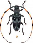 Cereopsius alboguttatus, ♂, Lamiini, Borneo