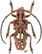 Cerosterna pulchellator, ♀, Lamiini, Mindanao