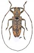 Cordoxylamia cordifera, ♀, Lamiini, Gabon