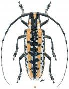 Deliathis buquetii, ♀, Lamiini, Veracruz