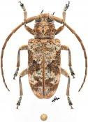 Docolamia incisa, ♀, Lamiini, Ivory Coast