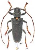 Monochamus buquetii buquetii, ♀, Lamiini, Gabon
