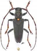 Monochamus buquetii buquetii, ♂, Lamiini, Gabon