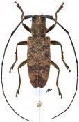 Monochamus congoanus, ♀, Lamiini, Gabon