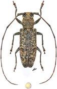Monochamus distigma, ♀, Lamiini, Gabon