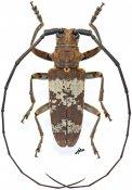 Monochamus griseoplagiatus griseoplagiatus, ♂, Lamiini, Gabon