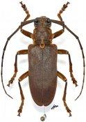 Monochamus homoeus, ♀, Lamiini, Gabon