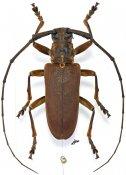 Monochamus homoeus, ♂, Lamiini, Gabon