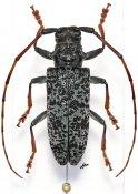 Monochamus ruficornis, ♀, Lamiini, Gabon